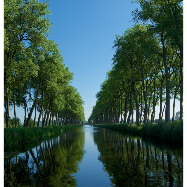 """Canal Poplars"" stock image"