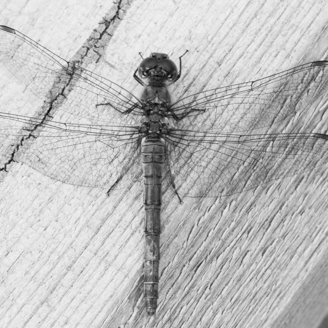 """Dragonfly on wood"" stock image"