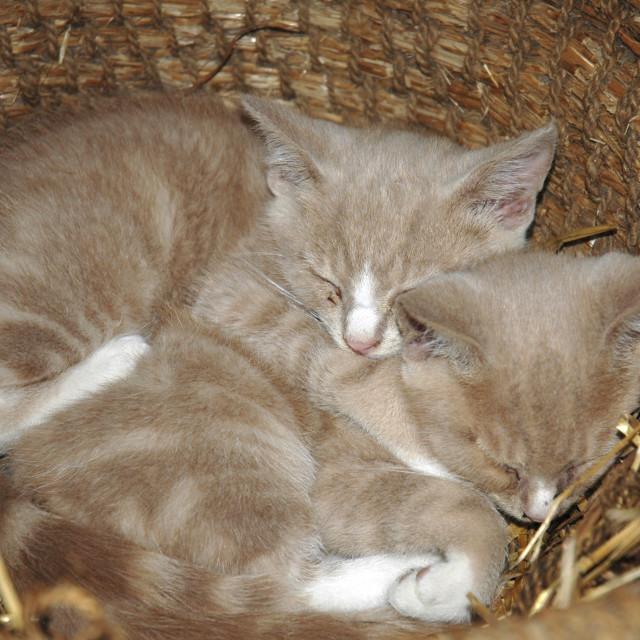 """Kittens in Basket"" stock image"