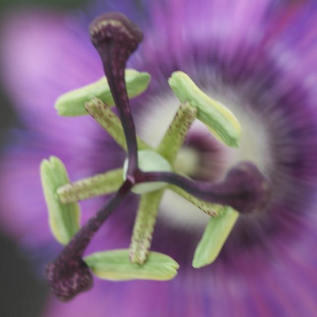 """""""Soft focus Passiflora"""" stock image"""