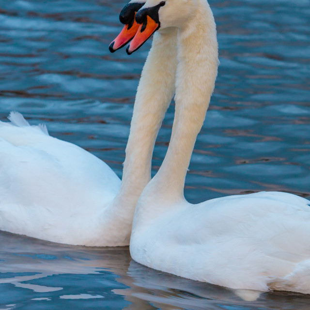 """Pair of Mute Swans, Love is in the Air"" stock image"