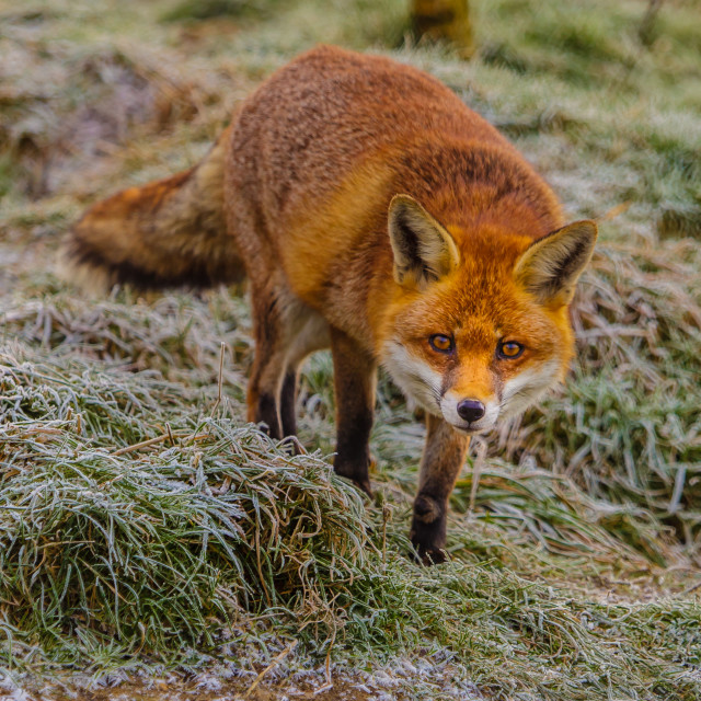 """""""Fox in the Frost"""" stock image"""