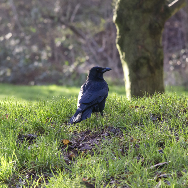 """Carrion crow"" stock image"