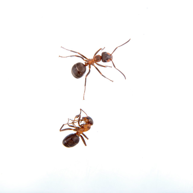 """Two ants on a white background"" stock image"