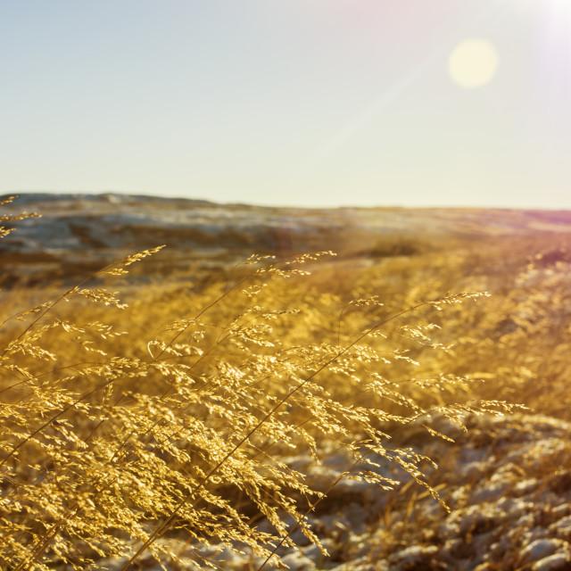 """""""Golden grassland under the warm sun."""" stock image"""