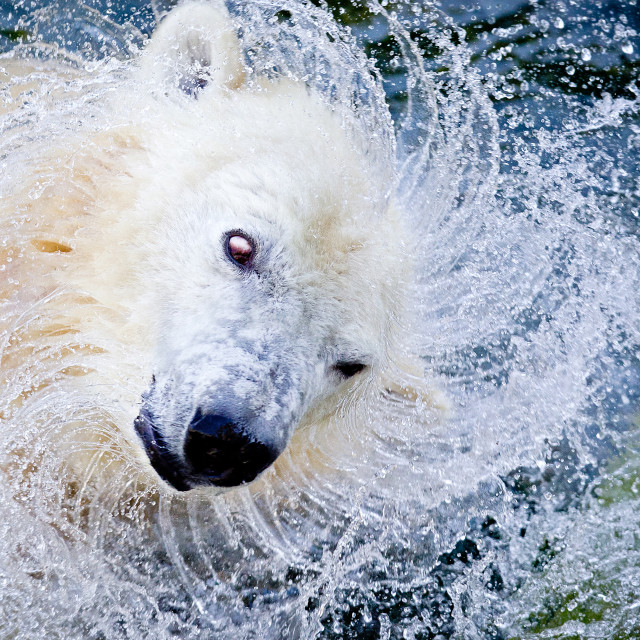 """Polar bear"" stock image"