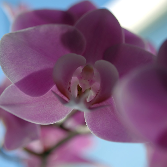 """""""Moth Orchid"""" stock image"""
