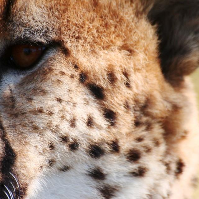 """Male Cheetah"" stock image"