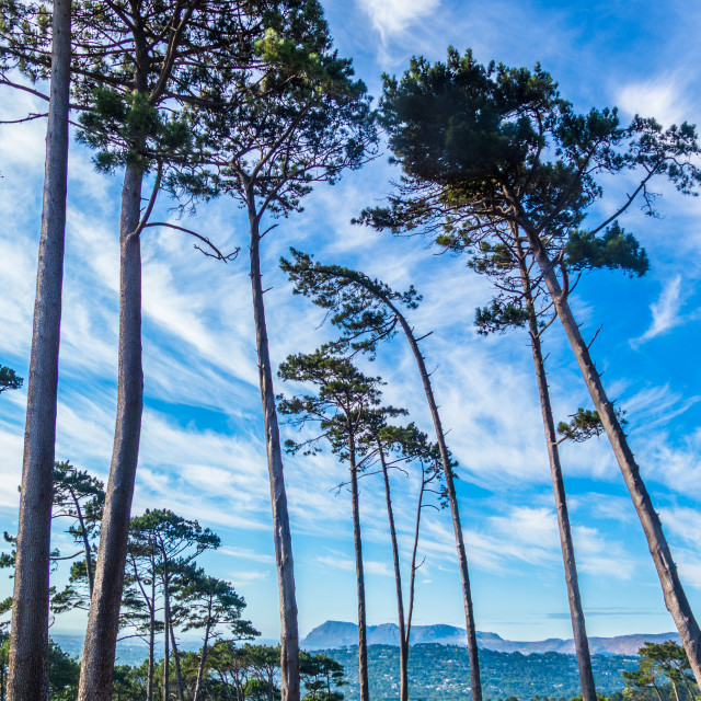 """""""A group of tall pine trees"""" stock image"""