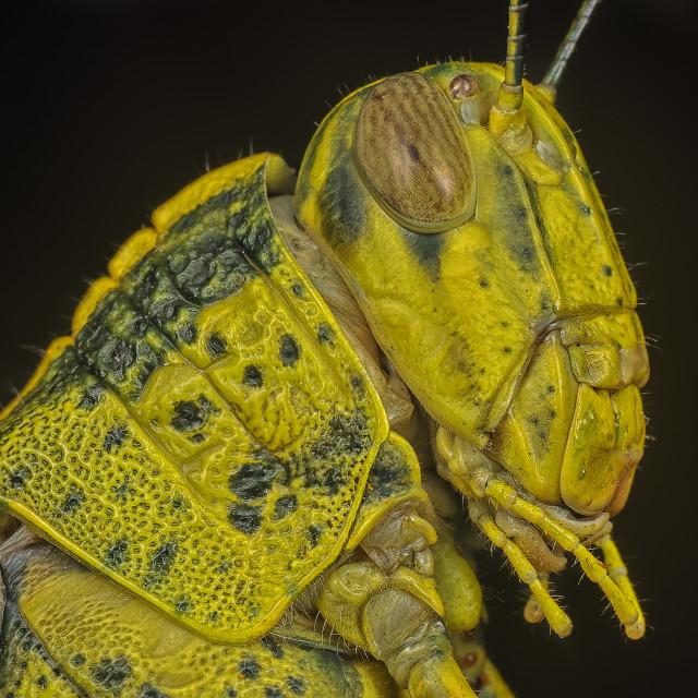 """yellow grasshopper"" stock image"