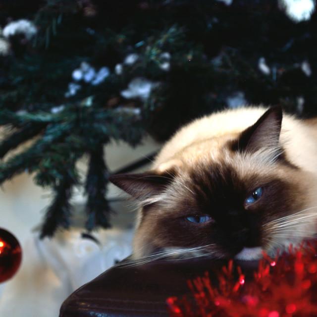 """Christmas Ragdoll cat portrait"" stock image"