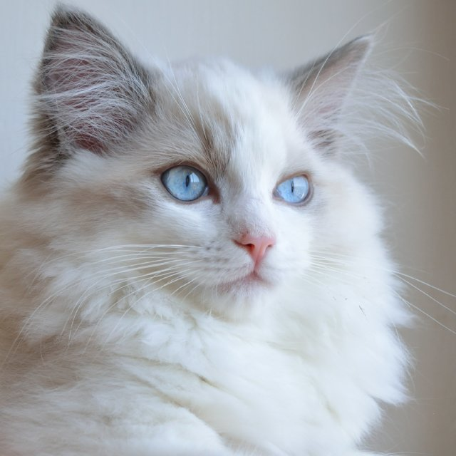 """Ragdoll kitten portrait"" stock image"