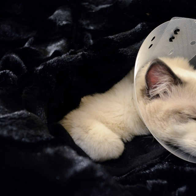 """Ragdoll cat wearing Elizabethan collar"" stock image"