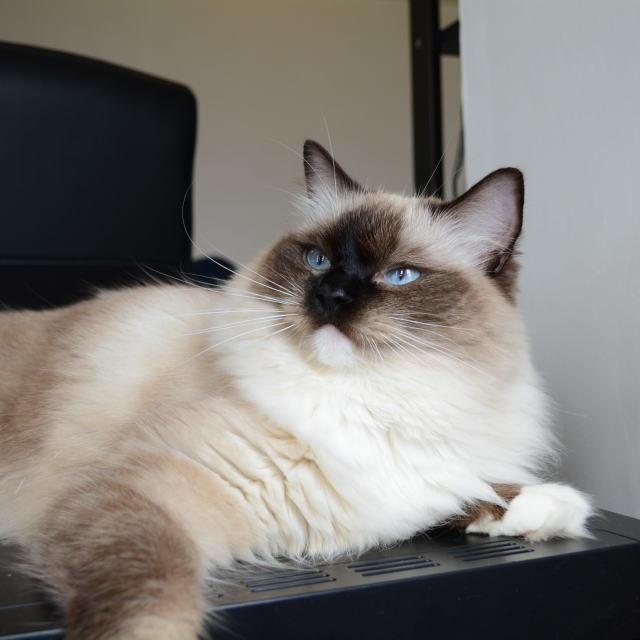 """Ragdoll seal point cat portrait"" stock image"