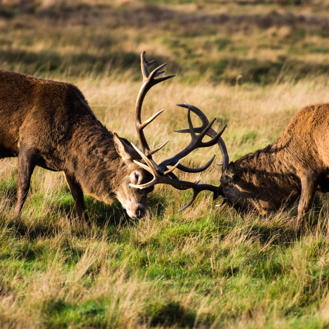 """""""Stag Fight"""" stock image"""