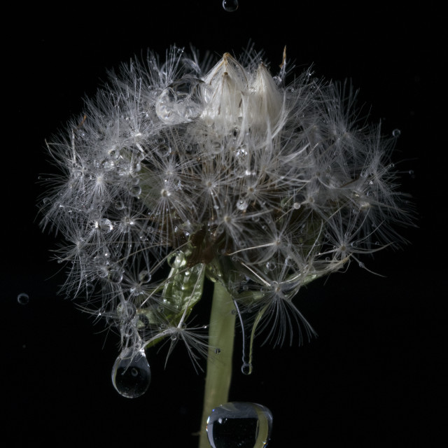 """Dandelion Rain"" stock image"
