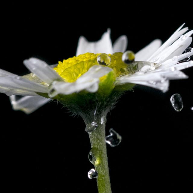 """""""Daisy Drops"""" stock image"""