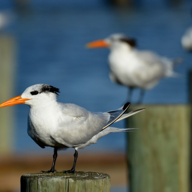"""Royal Terns"" stock image"