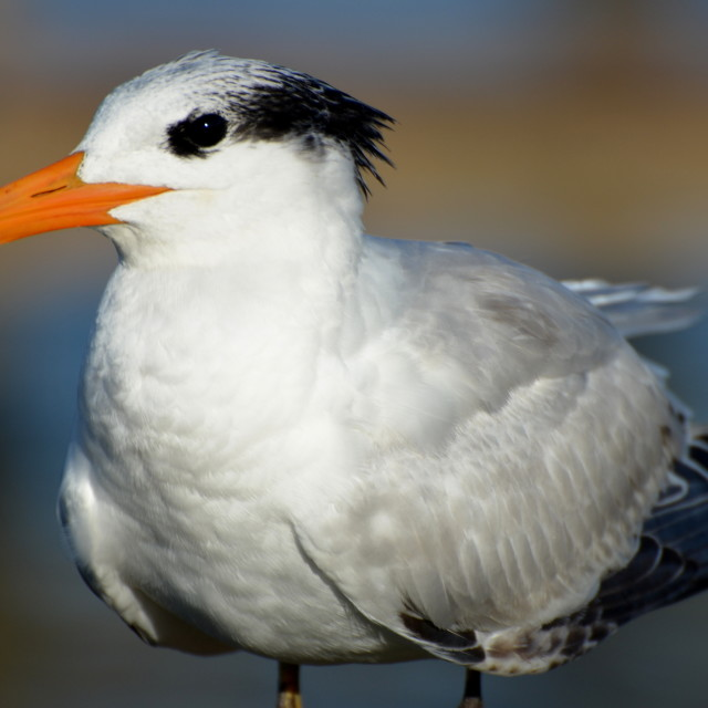 """Royal Tern Close-up"" stock image"