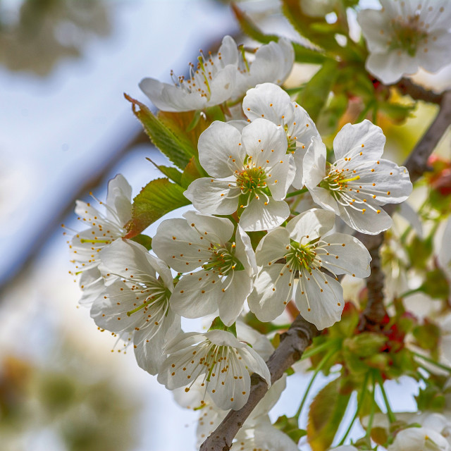 """Cherry tree in spring"" stock image"
