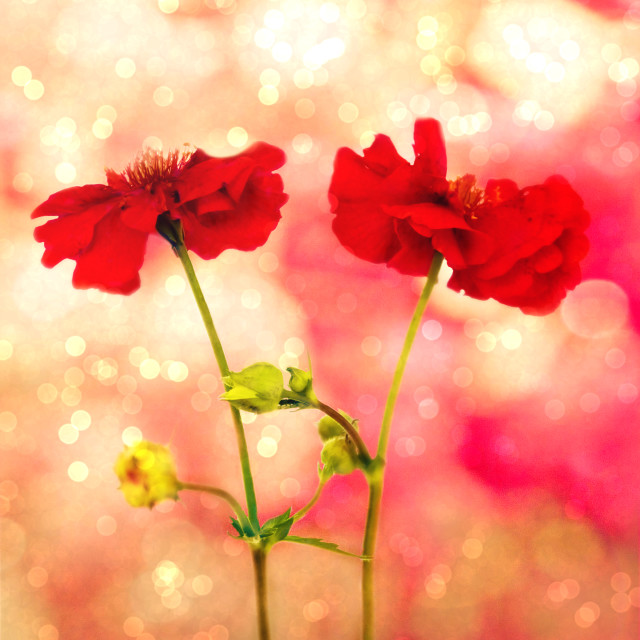 """""""Scarlet Red."""" stock image"""