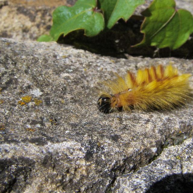"""Sycamore Moth Caterpillar"" stock image"