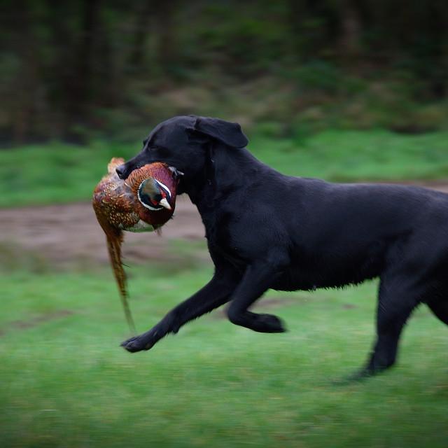 """A Labrador Retrieves a Pheasant"" stock image"
