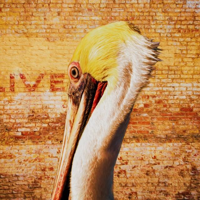 """Brown Pelican (Czesanne)"" stock image"