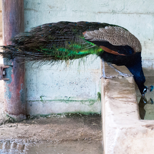 """Peacock drinking"" stock image"