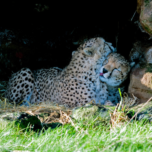"""Cheetahs"" stock image"