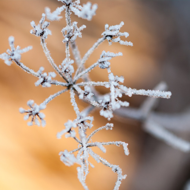"""Frost on beaked parsley"" stock image"