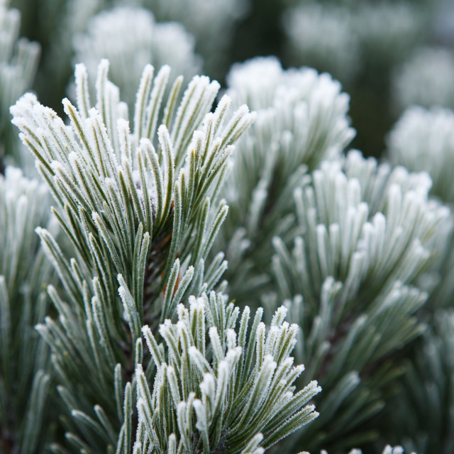 """Winter frost on pine, christmas tree close-up"" stock image"