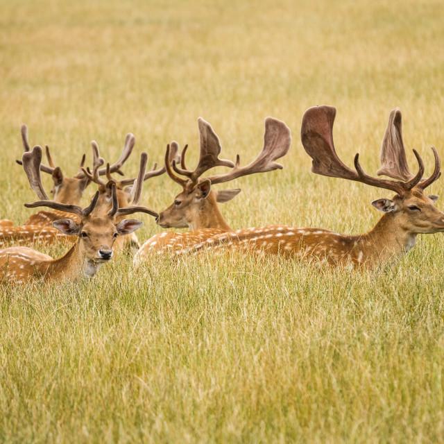 """Herd Of Fallow Deer"" stock image"