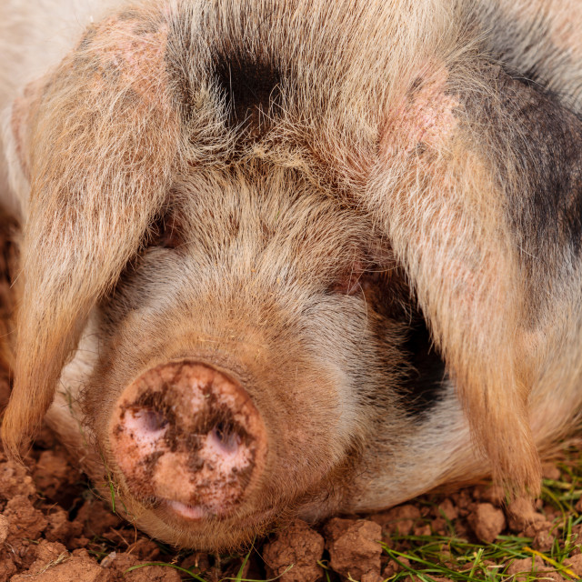 """Pig Tired"" stock image"