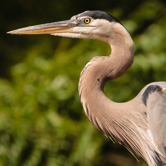 """Portrait of a Heron"" stock image"