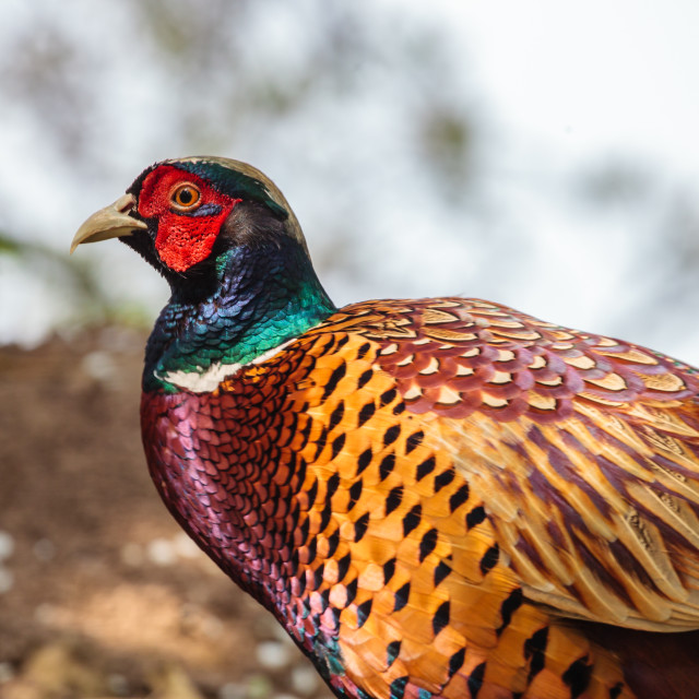 """Magical Colours of a Pheasant"" stock image"