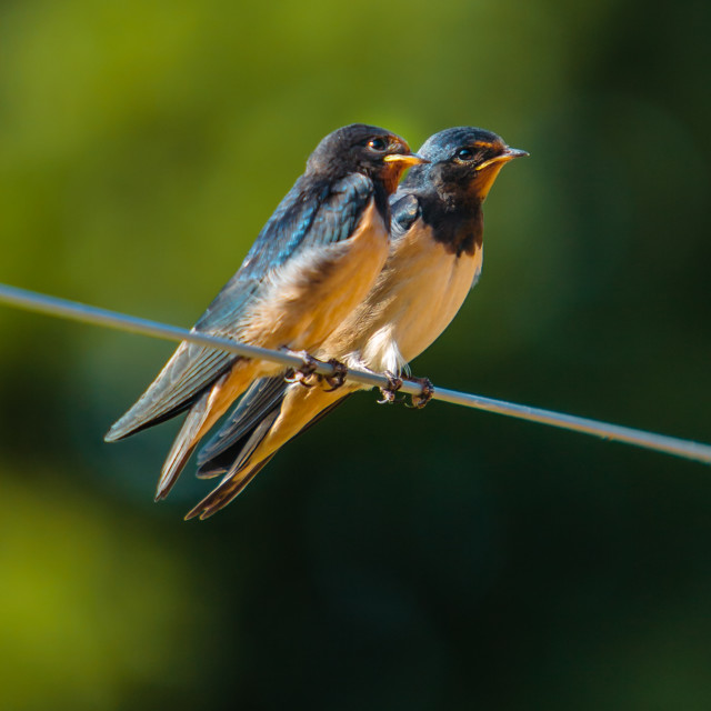 """Two Swallows sitting on a wire"" stock image"
