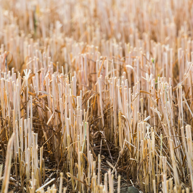 """Rows of stubble harvested wheat field"" stock image"
