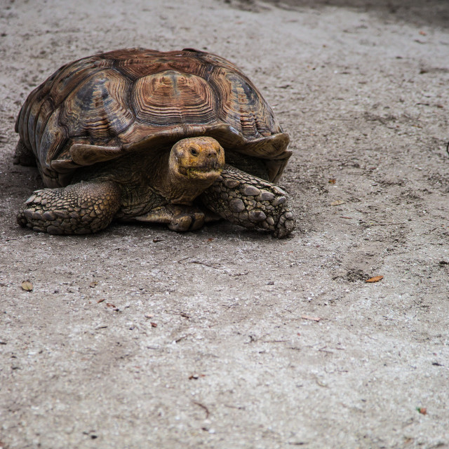 """Tortoise on the move"" stock image"