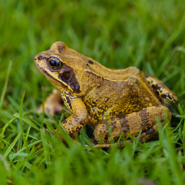 """Frog on the grass"" stock image"