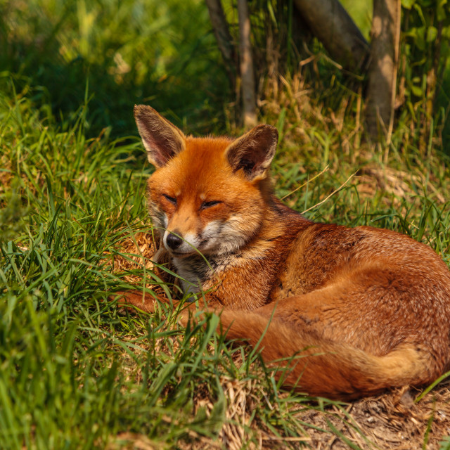 """Fox in the Sun"" stock image"