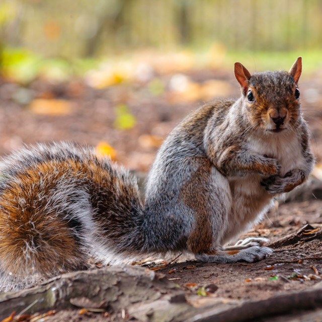 """Where did I hide that nut?"" stock image"