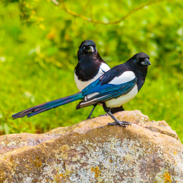 """""""Pair of Magpie.....Two for Joy!"""" stock image"""