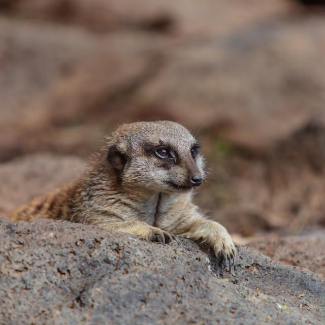 """""""Meerkat sunbed"""" stock image"""
