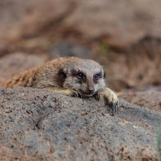 """Sleepy Meerkat"" stock image"