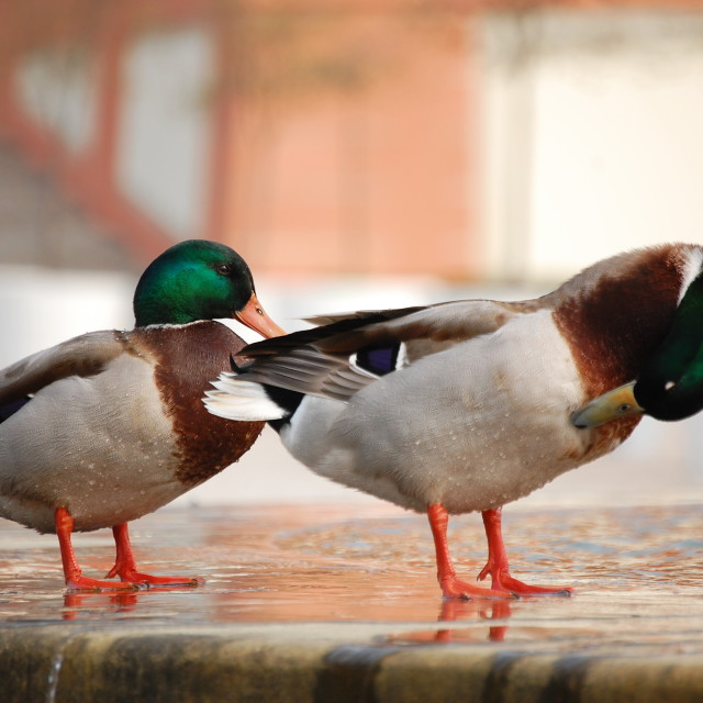 """Duck in Troja Castle in Prague"" stock image"