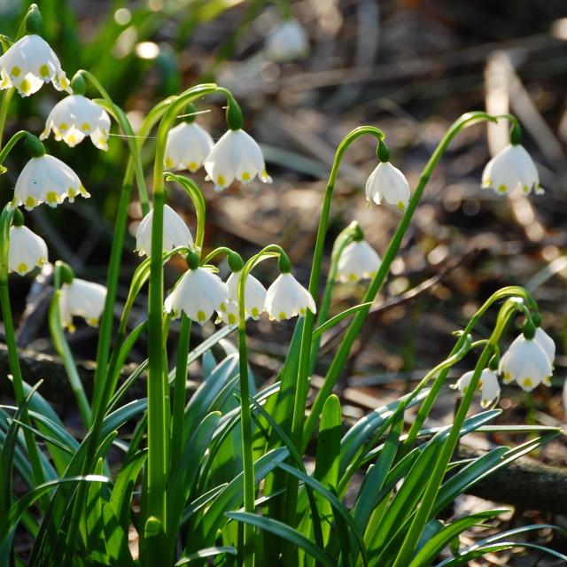 """Spring snowflake"" stock image"