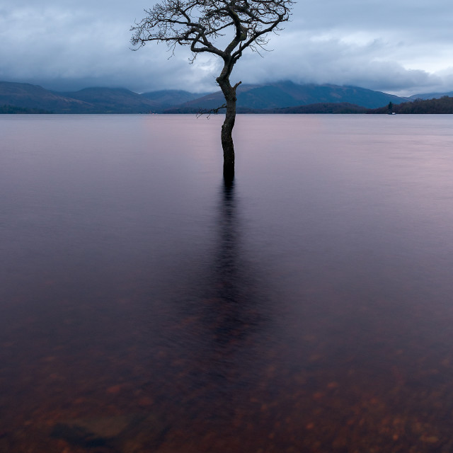 """Milarrochy Bay Tree, Loch Lomond."" stock image"