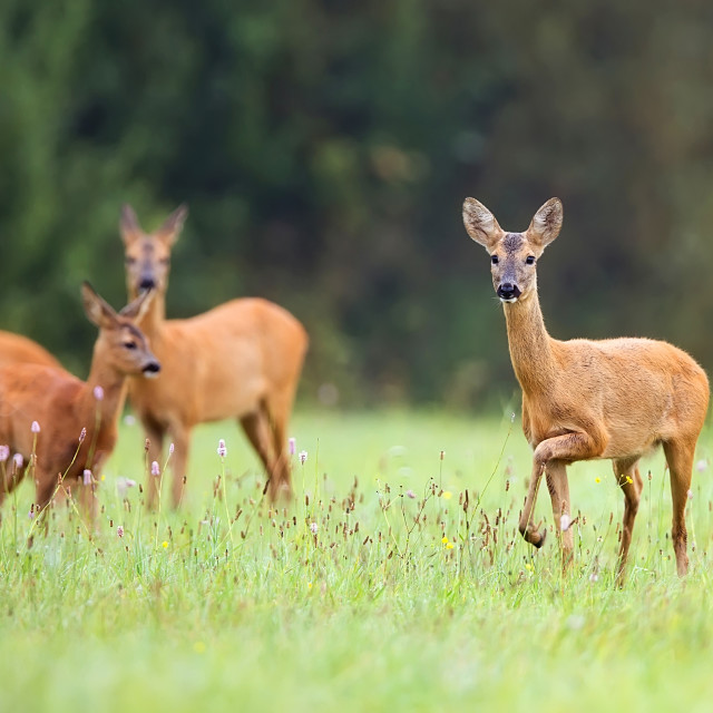 """Roe-deer with family in the wild"" stock image"