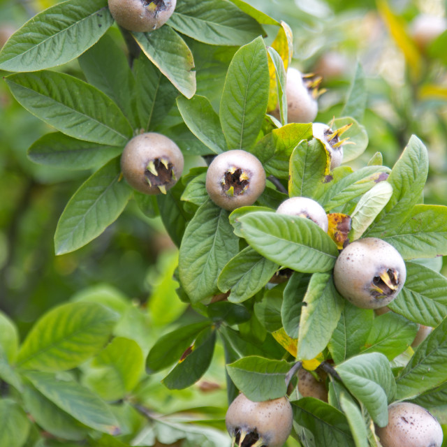 """Common medlar fruits"" stock image"